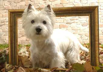 Wee-Chon's, Cavachon's, Coton's And Westie's - Dog Breeders