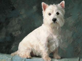 West Highland White Terrier Pups - Dog Breeders