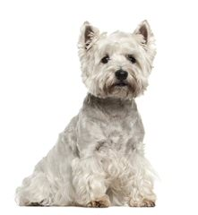 Fourche Terrier Pups West Highland White Terrier - Dog Breeders