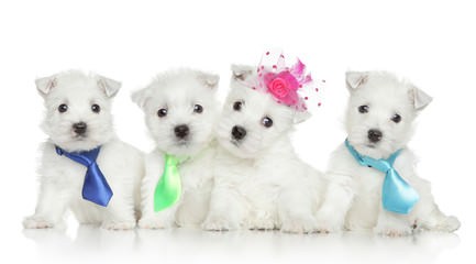 Southern Westies - Dog Breeders