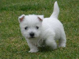 Highland Westies (Mountainhigh Registered) - Dog Breeders