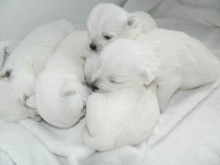 Highland Westies (Mountainhigh Registered) - Dog and Puppy Pictures