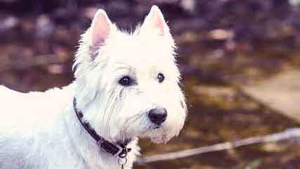 Strawberry River Papillons & Westies - Dog Breeders