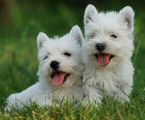 West Highland White Terrier Puppies For Sale / West Highland