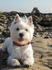 Highland Westies (Mountainhigh Registered) - Dog Breeders