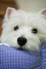 Snowesti - Dog Breeders
