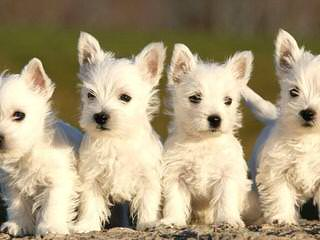 Gap Kennels Puppy - Dog Breeders