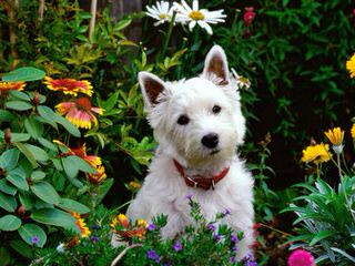 Fourche Terrier Pups West Highland White Terrier - Dog Breeders