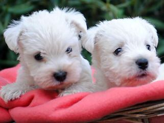 West Highland Puppies For Sale - Dog Breeders