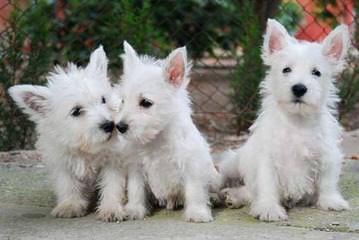 West Highland White Terrier Puppies For Sale / West Highland White