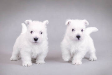 Bluewesties Of California - Dog Breeders