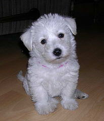 Wee-Chon's, Cavachon's, Coton's And Westie's - Dog Breeders