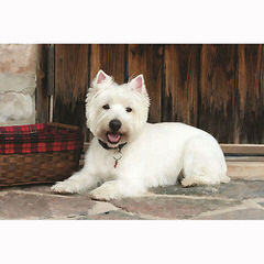 West Highland Terrier - Dog Breeders