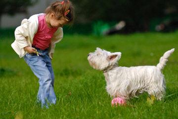 Rare Fourche Terrier Puppies (Yorkie Westie Cross) - Dog Breeders