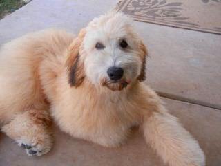 Diamond Doodles - Dog Breeders