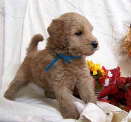Mainely Whoodles - Dog and Puppy Pictures