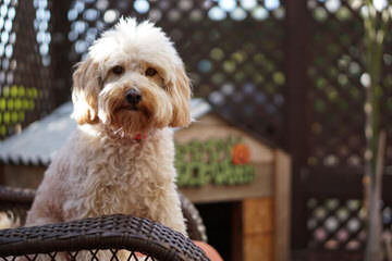 Mainely Whoodles - Dog Breeders