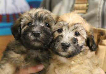 Whoodles Of Raisin Tree - Dog Breeders