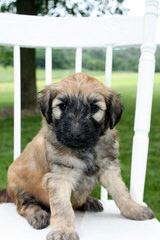 North Carolina Whoodles - Dog Breeders
