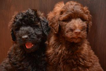 Ali Doodle's Whoodles - Dog Breeders