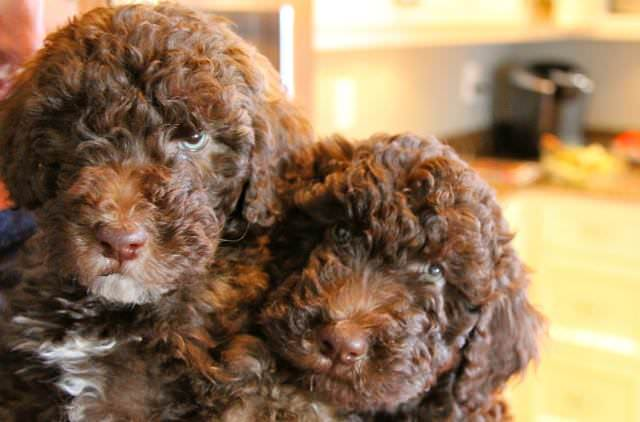 Whoodles Dogs and Puppies