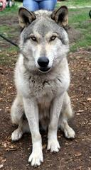 Blue D'Lorien - Dog Breeders