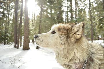 King Wolf/Hybrids - Dog Breeders