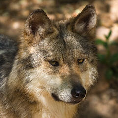 Western Wolf Husky Pack - Dog Breeders