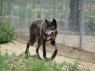 Northern California's Wolf Hybrid Ranch - Dog Breeders