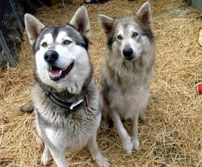 Malamute/Wolf Pups - Dog and Puppy Pictures