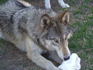 Howler Hybrid Wolves - Dog Breeders