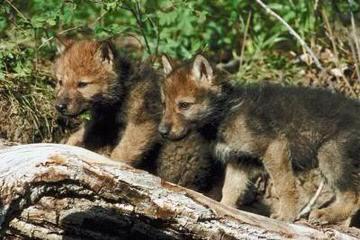 White Alaskan Tundra Cross Needs Home - Dog Breeders