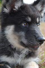Alpha Wolves - Dog Breeders