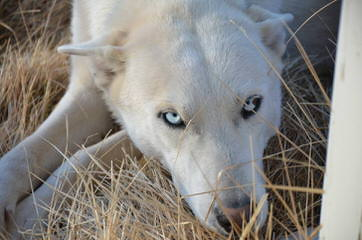 Northern California's Wolf Hybrid Ranch - Dog Breeders