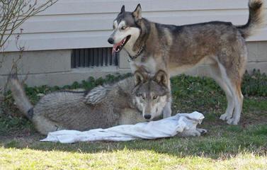 Malamute/Wolf Pups - Dog Breeders