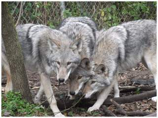 Lakota Wolf Pack Hybird Cubs - Dog Breeders