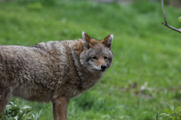 Lakota Wolf Pack Hybird Cubs - Dog Breeders