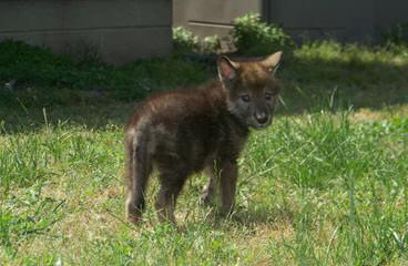Western Wolf Husky Pack - Dog Breeders
