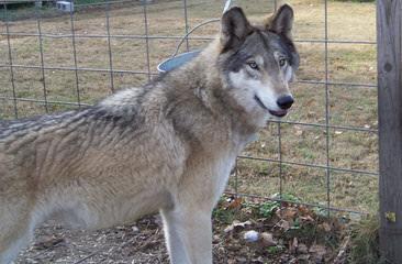 Wolf Pack Hybrids - Dog Breeders