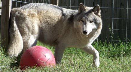 The Wolf CrossingOrg  Wolfdog Wolf Hybrid Wolf puppies