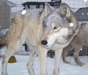 Wolf Pack Hybrids - Dog Breeders