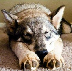 Jindo Pups Rare - Dog Breeders