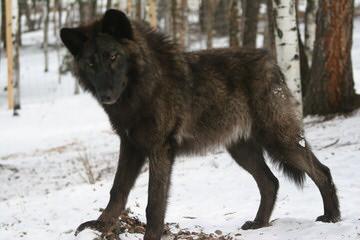 Carrkinney Wolf Den - Dog Breeders