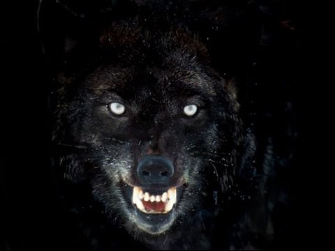 Wolf Hybrid Dogs and Puppies
