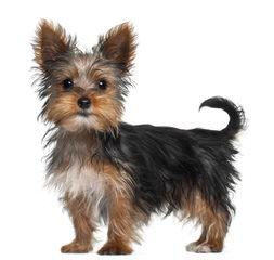 Hartlan Yorkies - Dog Breeders