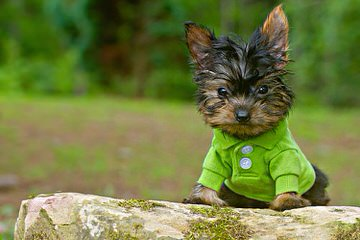 Litter Trained Reg. Yorkshire Terrier Pups - Dog Breeders