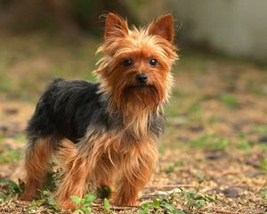Sweet Baby Yorkies - Dog Breeders