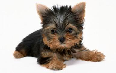 Yorkie Luv - Dog and Puppy Pictures