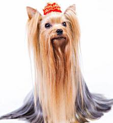 Biewer Yorkshire Terrier A La Pom Pon - Dog Breeders