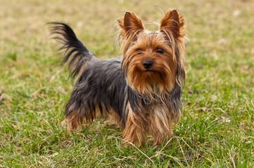 Car-Mir-Jac Yorkies - Dog and Puppy Pictures